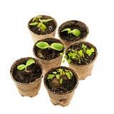 Piantine che crescono in vasi del muschio di torba Immagini Stock Libere da Diritti