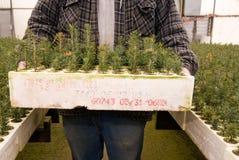 Piantine coltivate del connifer Fotografie Stock