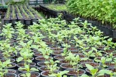 Piantine coltivate in serra Fotografia Stock
