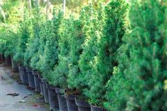 Piantine in contenitori ad una vendita del giardino Conifera per la piantatura nella terra fotografie stock libere da diritti