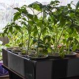 Piantine crescenti del cetriolo all'interno vicino alla finestra Nuovi tiri con le foglie immagini stock libere da diritti