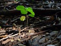 Piantine degli alberi di gomma Fotografia Stock Libera da Diritti