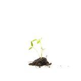 Piantine degli alberi di gomma Immagine Stock Libera da Diritti