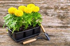 Piantine dei fiori del tagete Immagini Stock
