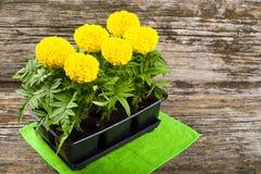 Piantine dei fiori del tagete Fotografia Stock