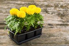 Piantine dei fiori del tagete Fotografia Stock Libera da Diritti