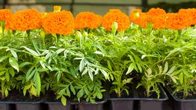 Piantine dei fiori del tagete in vasi di plastica Immagine Stock