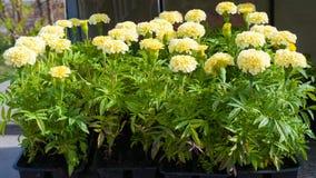 Piantine dei fiori del tagete in vasi di plastica Fotografie Stock