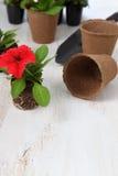 Piantine dei fiori su una tavola di legno Fotografia Stock