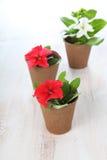 Piantine dei fiori su una tavola di legno Fotografie Stock Libere da Diritti