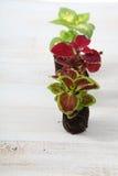 Piantine dei fiori su una tavola di legno Immagini Stock