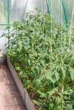 Piantine dei pomodori immagini stock libere da diritti