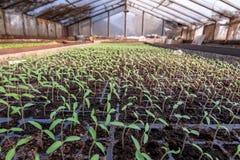 Piantine dei pomodori in una serra Immagine Stock