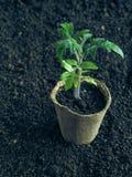 Piantine dei pomodori in vasi della torba Agricoltura di verdure Fotografie Stock