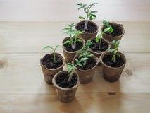 Piantine dei pomodori in vasi della torba Agricoltura di verdure Immagini Stock