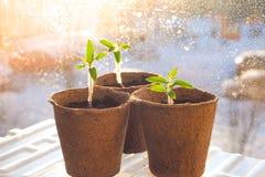 Piantine dei pomodori in vasi della torba Agricoltura di verdure Immagine Stock