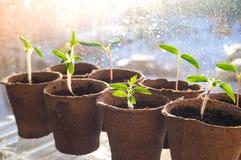 Piantine dei pomodori in vasi della torba Agricoltura di verdure Immagine Stock Libera da Diritti