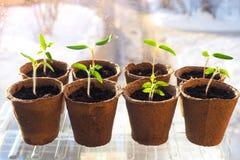 Piantine dei pomodori in vasi della torba Agricoltura di verdure Immagini Stock Libere da Diritti