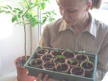 Piantine dei pomodori in vasi della torba Agricoltura di verdure Fotografia Stock Libera da Diritti