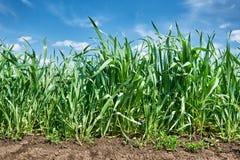 Piantine dei raccolti di grano primo piano, del giacimento di grano e del cielo blu, paesaggio della molla Fotografie Stock