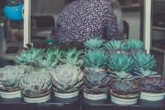 Piantine dei tipi differenti di succulenti in vasi neri di plastica da vendere nel mercato fotografia stock libera da diritti
