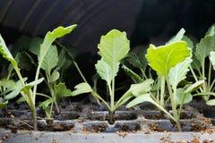 Piantine del cavolo di verdure Fotografia Stock