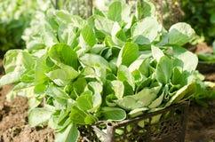 Piantine del cavolo pronte per la piantatura nel campo agricoltura, agricoltura, verdure immagini stock
