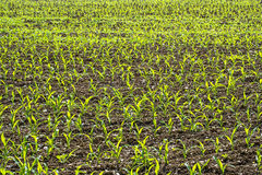 Piantine del cereale Immagini Stock Libere da Diritti