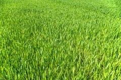 Piantine del cereale Fotografie Stock