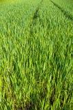 Piantine del cereale Immagine Stock Libera da Diritti