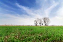 Piantine del cereale nel campo Immagini Stock