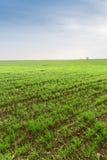 Piantine del cereale nel campo Fotografia Stock