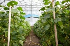 Piantine del cetriolo che crescono alla serra Fotografie Stock
