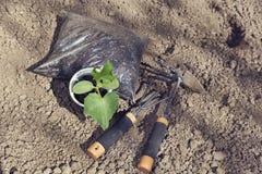 Piantine del cetriolo in contenitore e fertilizzante e strumenti di giardinaggio Fotografia Stock