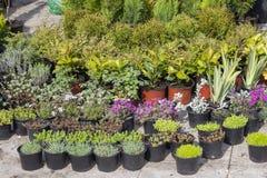 Piantine del fiore del giardino in vasi di plastica 3 Fotografia Stock