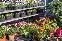Piantine del fiore della serra Linee di piccole piante che crescono in una serra Fotografia Stock Libera da Diritti
