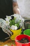 Piantine del fiore della tenuta della donna nel suo giardino immagini stock libere da diritti