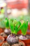 Piantine del giacinto Immagine Stock