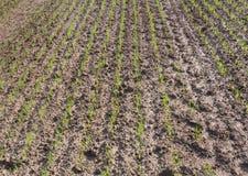 Piantine del grano della pianta Fotografie Stock Libere da Diritti
