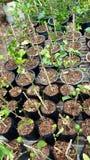 Piantine del limone pronte ad essere piantato Immagini Stock Libere da Diritti
