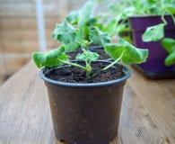 Piantine del pelargonium, del geranio o dello storksbill, germogli in vasi della pianta in serra fotografia stock