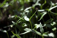 Piantine del pepe - giovane fogliame verde di pepe bulgaro Piantine della pianta della primavera, fondo fotografia stock libera da diritti