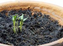 Piantine del pepe in vaso da fiori Immagini Stock Libere da Diritti