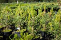 Piantine del pinus sylvestris del pino con i giovani tiri dentro Immagine Stock Libera da Diritti