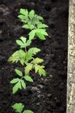 Piantine del pomodoro all'aperto fotografia stock libera da diritti