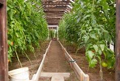 Piantine del pomodoro che crescono alla serra Fotografie Stock Libere da Diritti