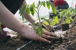 Piantine del pomodoro che piantano nella serra fotografia stock