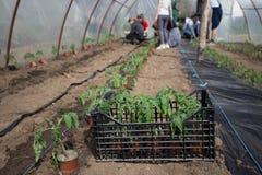 Piantine del pomodoro che piantano nella serra immagini stock libere da diritti