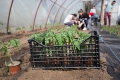 Piantine del pomodoro che piantano nella serra fotografia stock libera da diritti