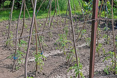Piantine del pomodoro nei supporti del giardino con Pali di legno Fotografia Stock